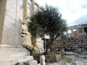 oliveira origem de Atenas